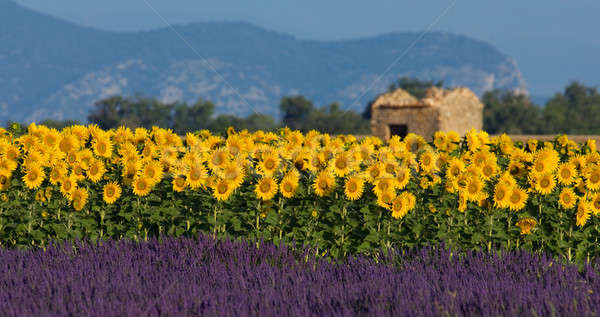 Lavender and sunflower setting in Provence, France Stock photo © akarelias