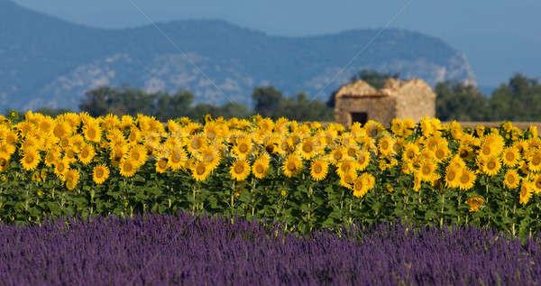 Lawendy słonecznika Francja obraz typowy kolorowy Zdjęcia stock © akarelias