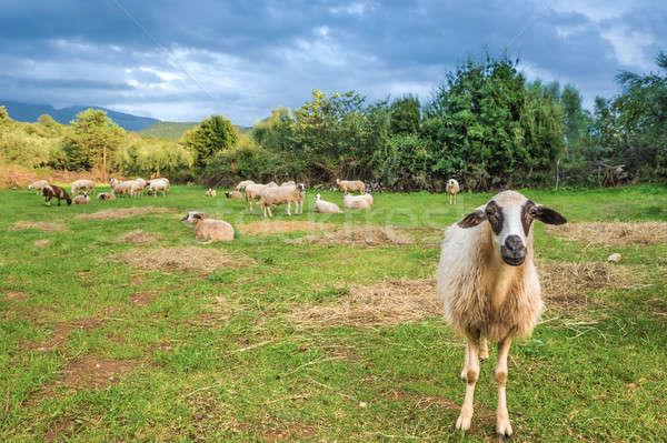 овец пастбище один глядя камеры трава Сток-фото © akarelias