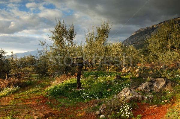 Terra imagem oliveira Grécia chuva Foto stock © akarelias