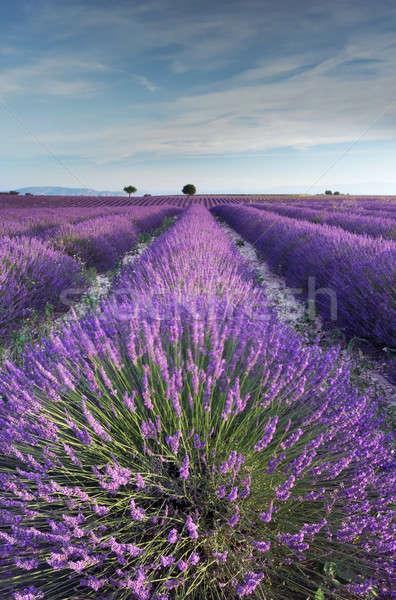 Foto stock: Campo · de · lavanda · cedo · manhã · rico · França · paisagem
