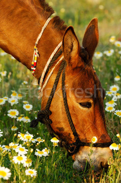 Mule eating Stock photo © akarelias