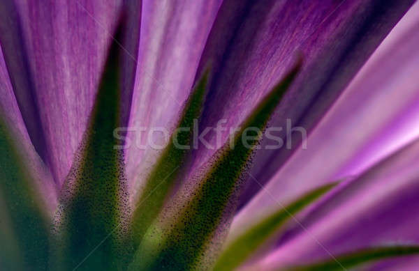 Violette fleur photos texture nature couleur Photo stock © akarelias