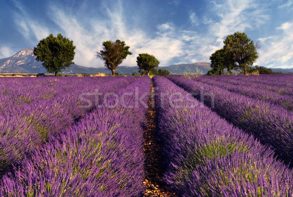 Lavender field in Provence, France Stock photo © akarelias