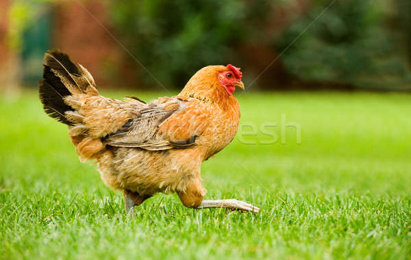 Hen on the move Stock photo © akarelias