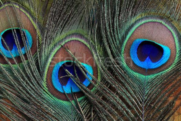 Closeup of beautiful peacock feathers Stock photo © Akhilesh