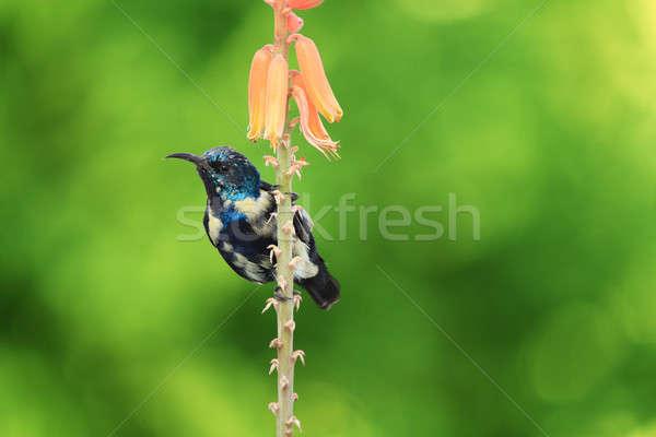 Purple Sunbird Wildlife on Aloe Vera Plant Flower Stock photo © Akhilesh