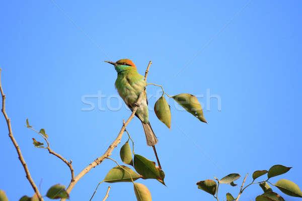 Green Bee Eater Bird in New Delhi, India Stock photo © Akhilesh