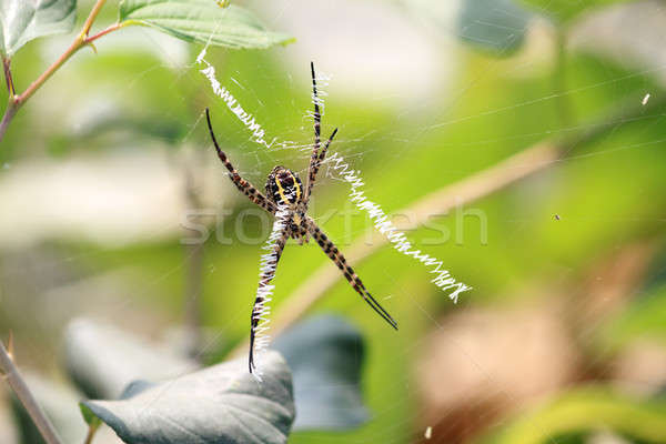 Spider Insect on Web - Closeup Macro Stock photo © Akhilesh