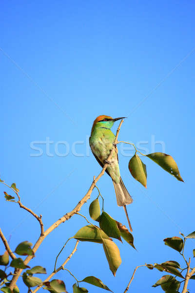 Green Bee Eater Bird with Blue Sky in New Delhi, India Stock photo © Akhilesh