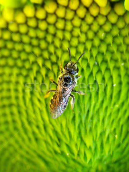Mel de abelha inseto girassol macro Foto stock © Akhilesh