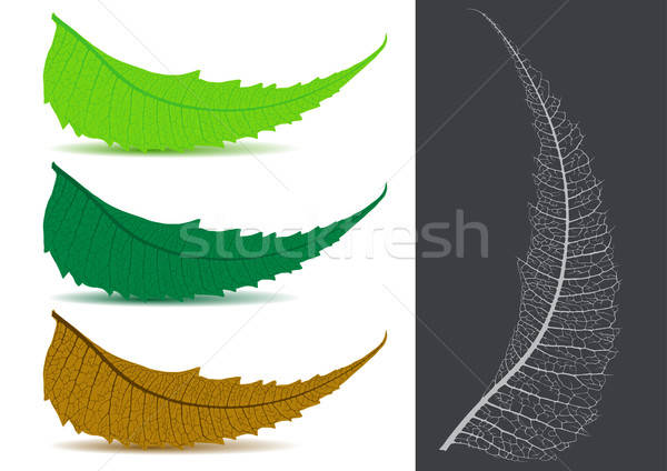 Indian Herbal / Medicinal Leaf - Neem Vector Illustration Stock photo © Akhilesh