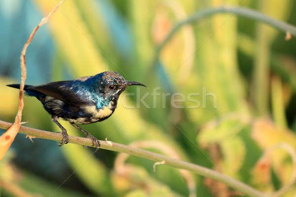 Purple Sunbird Wildlife on Aloe Vera Plant Stock photo © Akhilesh