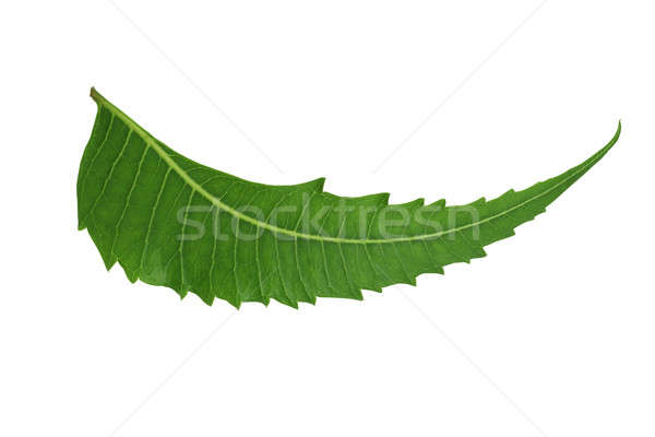 Indian Herbal / Medicinal Leaf - Neem Stock photo © Akhilesh