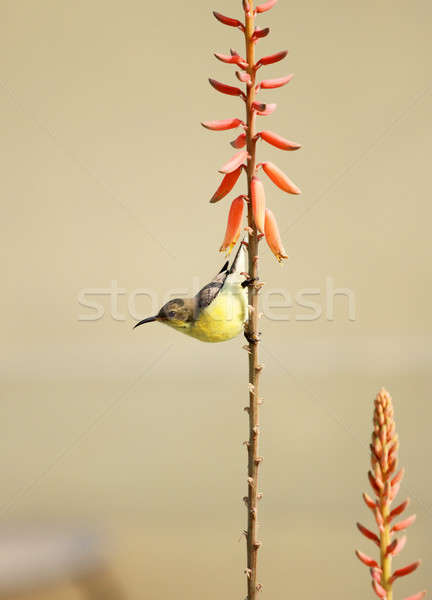 Galben wildlife aloe plantă floare Imagine de stoc © Akhilesh