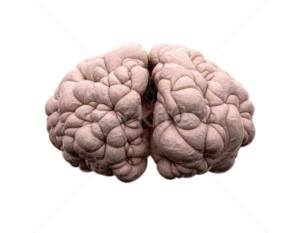 Brain Front View Stock photo © albund