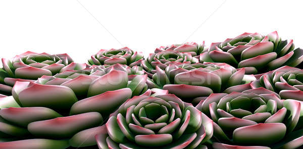 Rock Rose Succulents  Stock photo © albund