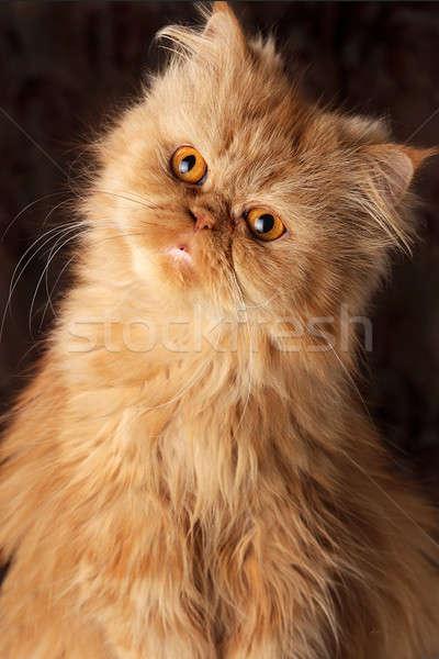 驚いた ペルシャ猫 暗い 愛 背景 肖像 ストックフォト © alekleks