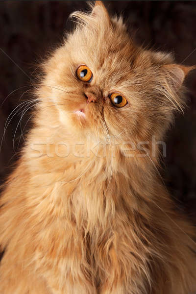 Verwonderd perzische kat donkere liefde achtergrond portret Stockfoto © alekleks