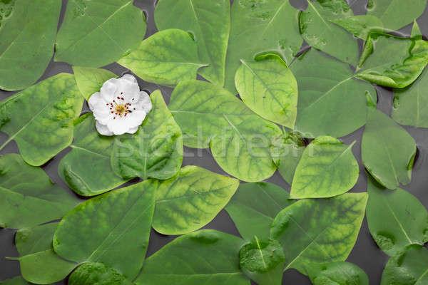 Вишневое цветок воды зеленые листья свадьба аннотация Сток-фото © alekleks