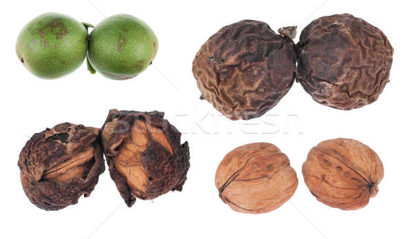 The four stages of maturation of walnut Stock photo © alekleks