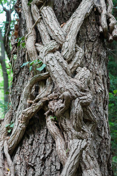 Tree trunk entwined with ivy Stock photo © alekleks