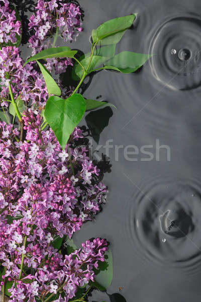 Leaves and lilac flowers in the water in the rain Stock photo © alekleks