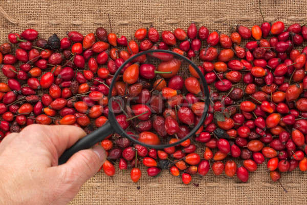 Man's hand with magnifying glass over rosehip Stock photo © alekleks