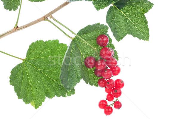 Red currants on the bush Stock photo © alekleks