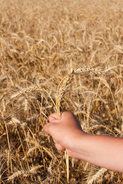 hand with three spikelets of wheat Stock photo © alekleks