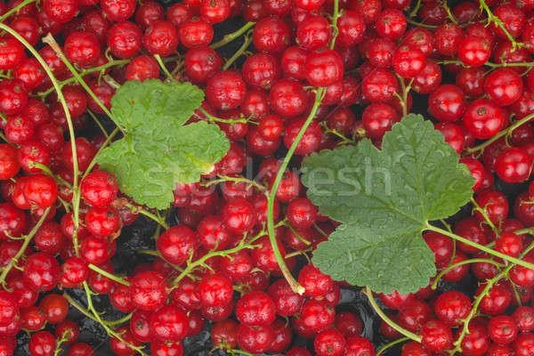 Kırmızı frenk üzümü yaprak çiy can kullanılmış Stok fotoğraf © alekleks