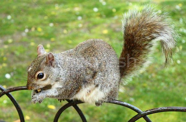 Grey squirrel Stock photo © alessandro0770
