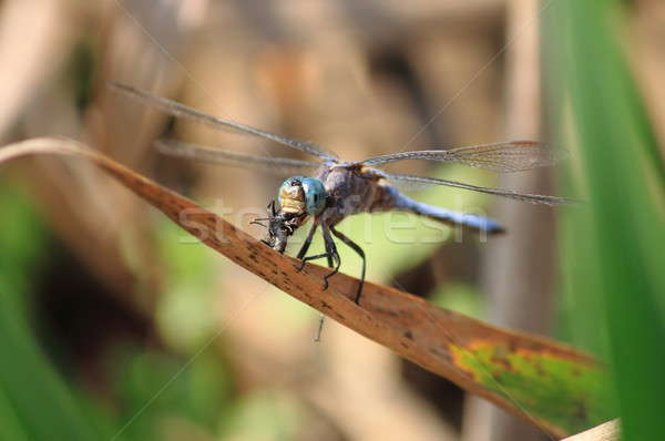 Dragonfly eating a fly Stock photo © alessandro0770