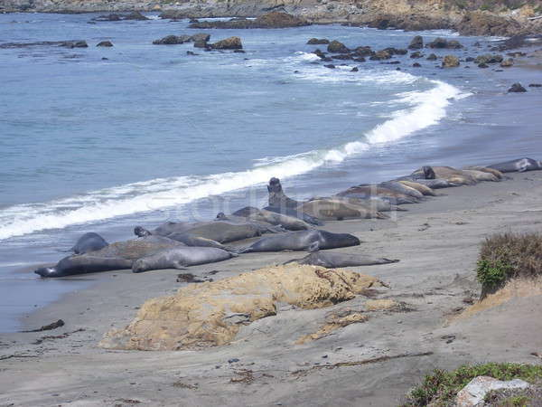 Elephant Seal colony on the beach in Big Sur Stock photo © alessandro0770