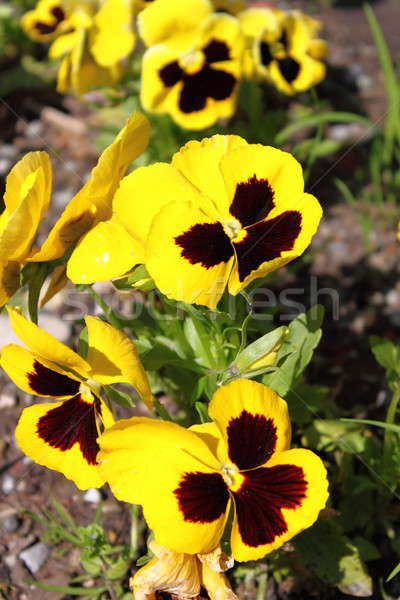 Yellow Pansy flowers Stock photo © alessandro0770