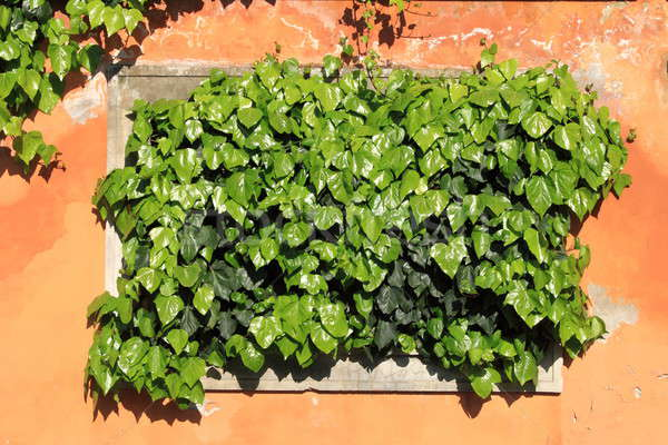 Green ivy growing Stock photo © alessandro0770