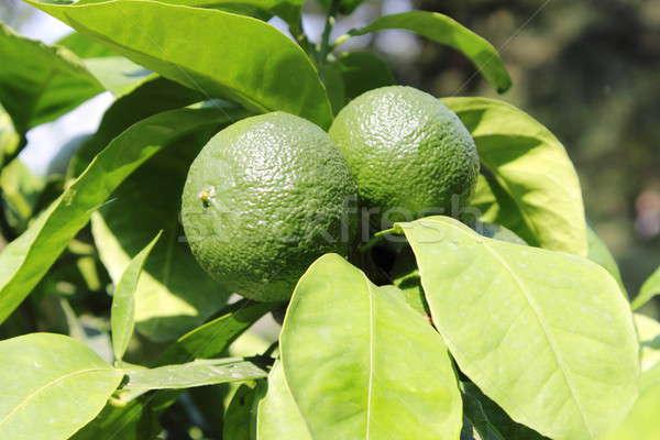 Green lemons on tree Stock photo © alessandro0770