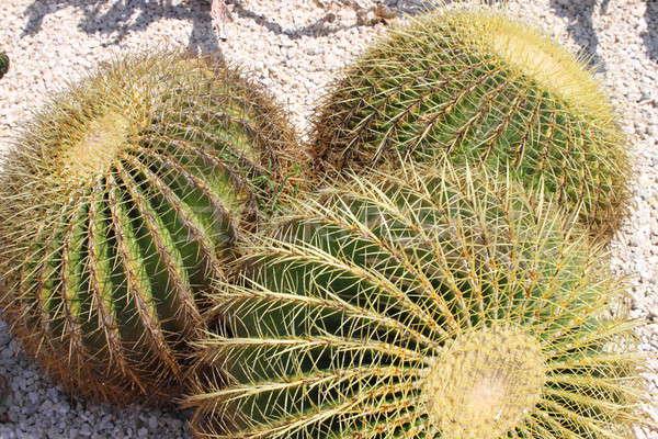 Golden barrel cactus, Echinocactus Grusonii Stock photo © alessandro0770