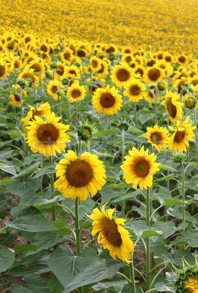 Landschap zonnebloemen veld bloemen blad Stockfoto © alessandro0770