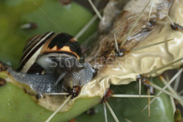 Striped Ground snail eating a succulent plant Stock photo © AlessandroZocc