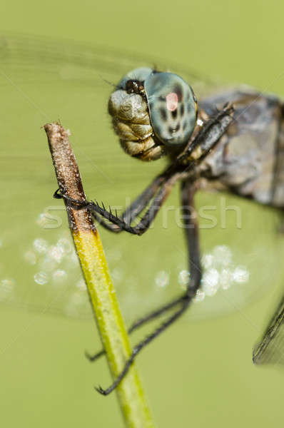 Blue Dragonfly perched on a stick  Stock photo © AlessandroZocc