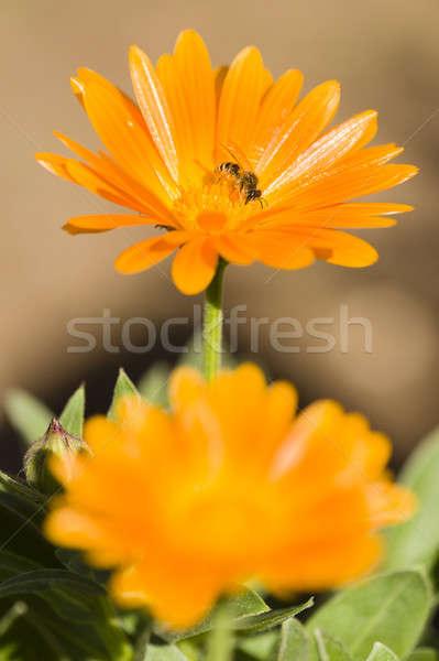 Pszczoła pomarańczowy kwiat pyłek nektar Zdjęcia stock © AlessandroZocc