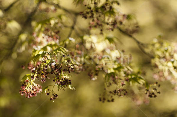 Maple tree with yellow green leaves and Spring red flowers Stock photo © AlessandroZocc
