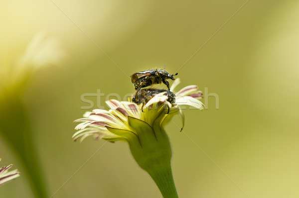 Dandelion flower in Spring with two mating coleopteron insects Stock photo © AlessandroZocc