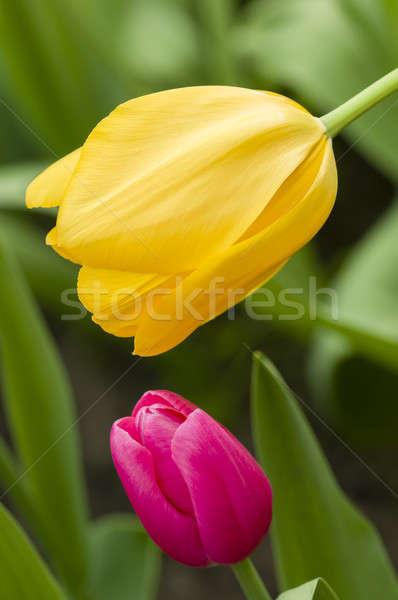 Kolorowy kwiaty szczegół tulipan kwiat Zdjęcia stock © AlessandroZocc