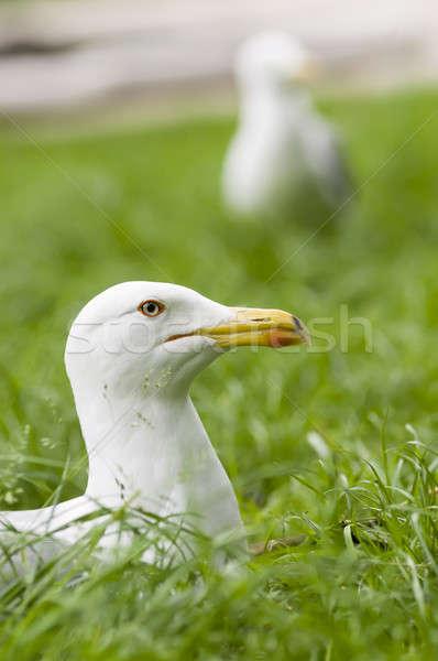 European Herring Gull, Larus argentatus Stock photo © AlessandroZocc
