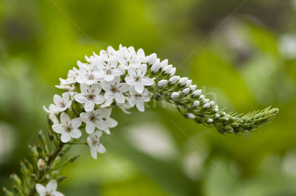Spike of white flowers Stock photo © AlessandroZocc
