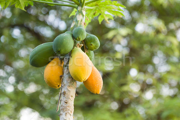 Yellow and green Mango fruits hanging from the tree Stock photo © AlessandroZocc