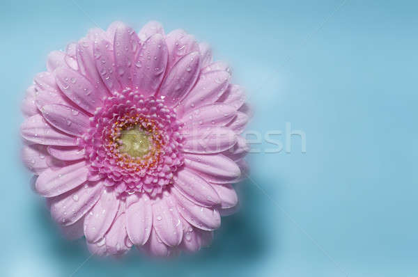 Pink Gerber flower in full bloom Stock photo © AlessandroZocc