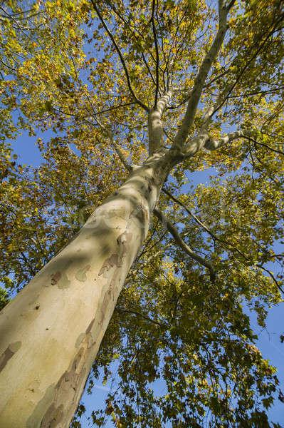 Poplar tree to the sky Stock photo © AlessandroZocc